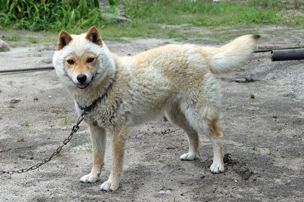 羊にそっくりな姿がカワイすぎて話題に! 性格も山陰気質な鳥取県の地犬「山陰柴犬」